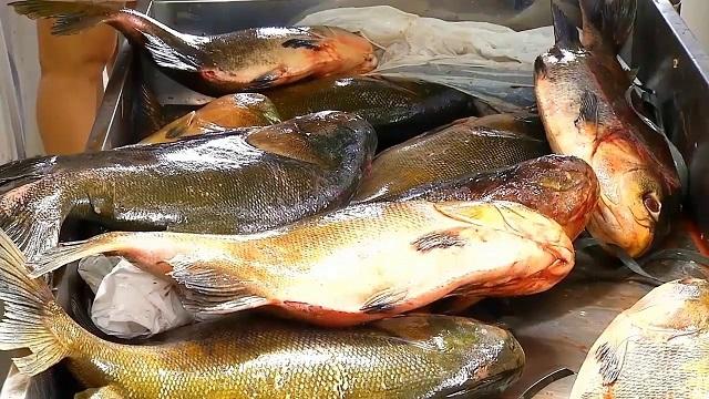 Olha o peixe, aí: doença da urina preta põe o Pará em alerta